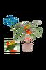 Chilli i kruka mild, trefärgad