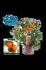 Kvisttomat i kruka orange